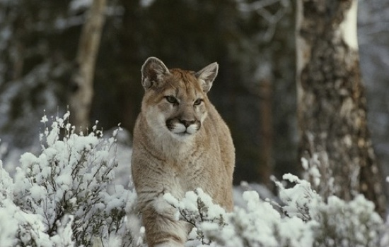 Indian-Creek puma