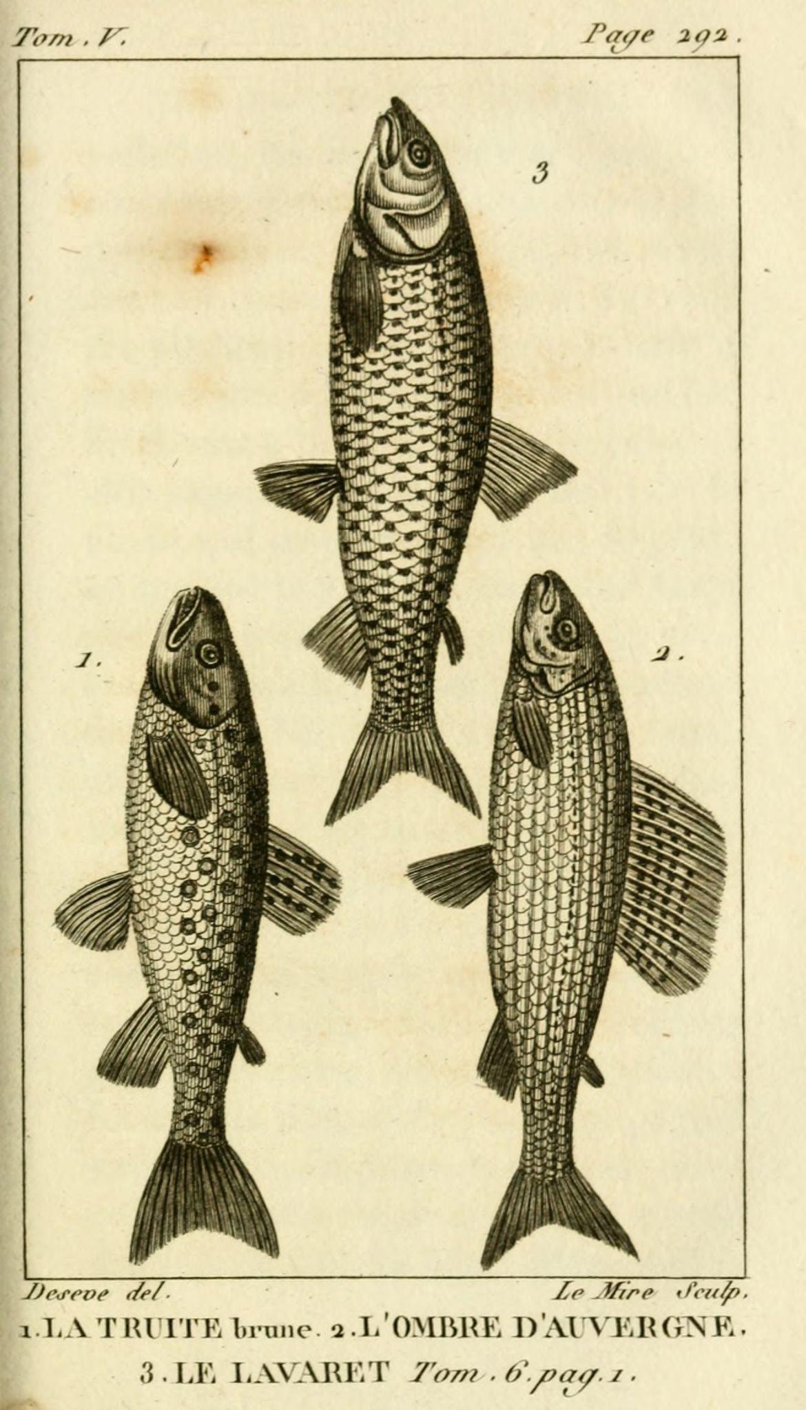 gravures_poissons_-_5355_truite_brune__-_ombre_d_Auvergne__-_lavaret