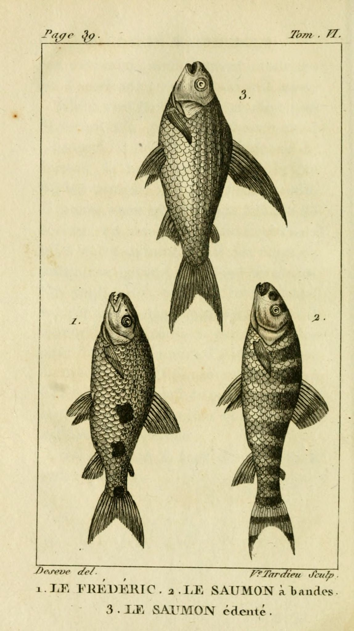 gravures_poissons_-_6054_frederic__-_saumon_a_bandes__-_saumon_edente
