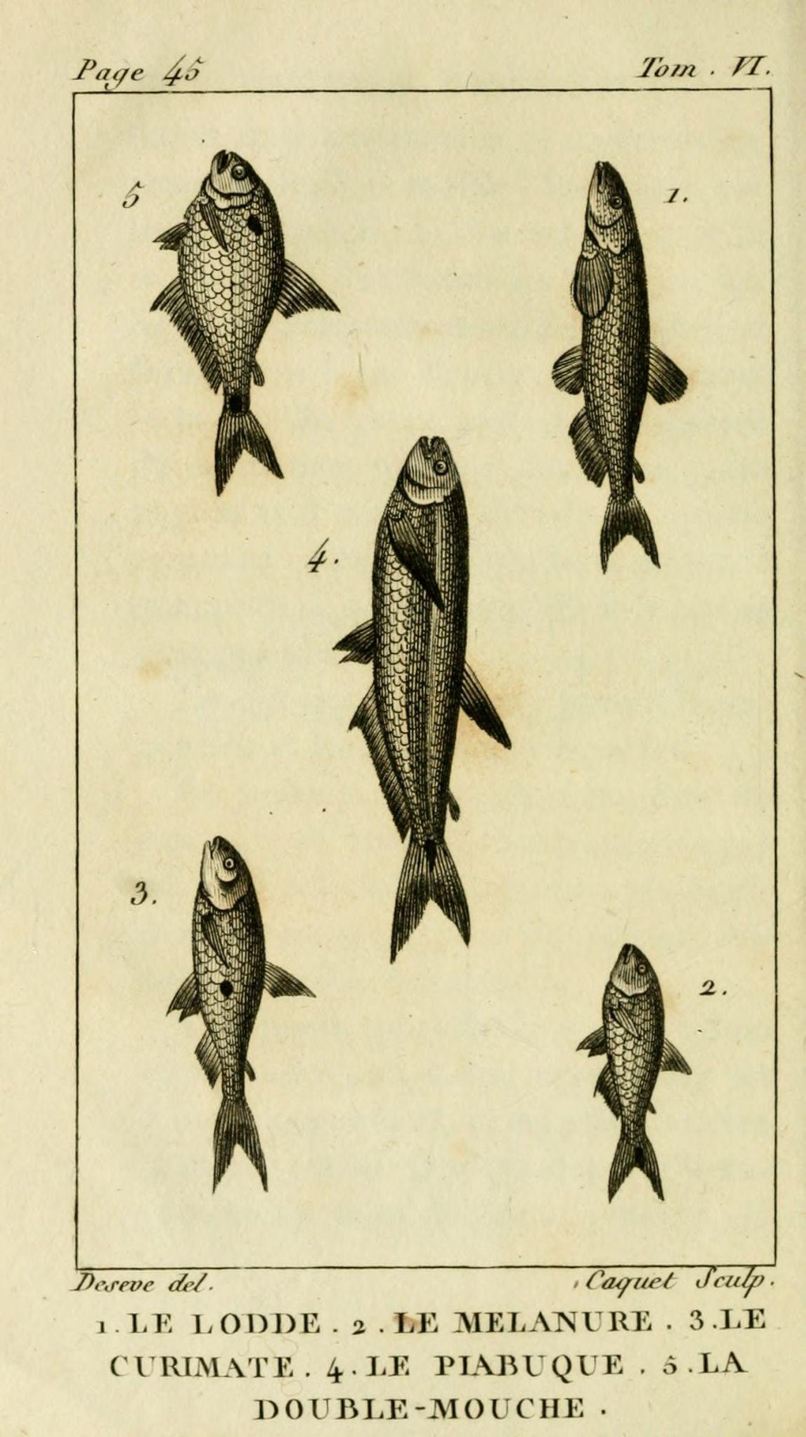 gravures_poissons_-_6062_lodde__-_melanure__-_curimate__-_piabuque__-_double-mouche-1