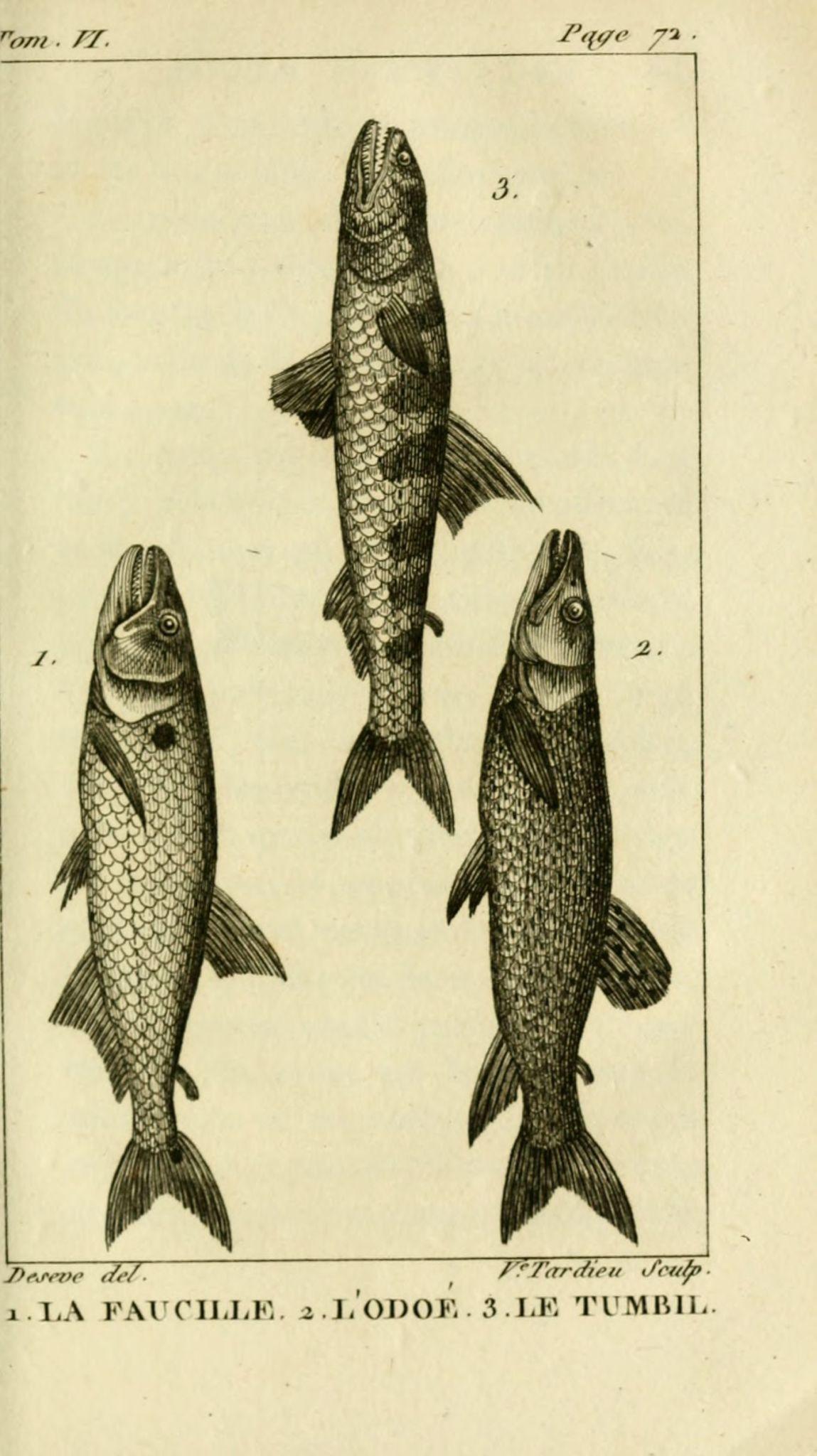 gravures_poissons_-_6099_faucille__-_odoe__-_tumbil