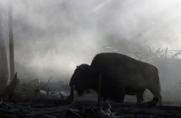 bison-in-the-mist